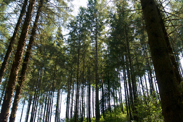 Tall trees in Cardinham Woods