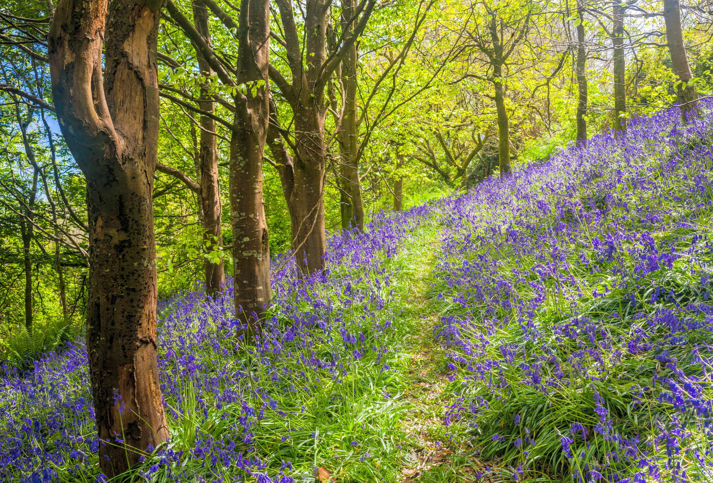Bluebells in Cornish woodland