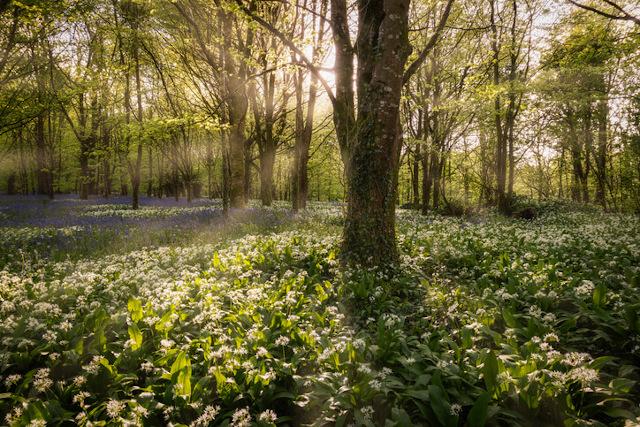 Woodland at Lanhydrock