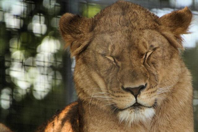 lion at newquay zoo cornwall