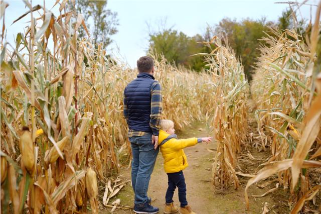 father and son walking around cornish maize maze