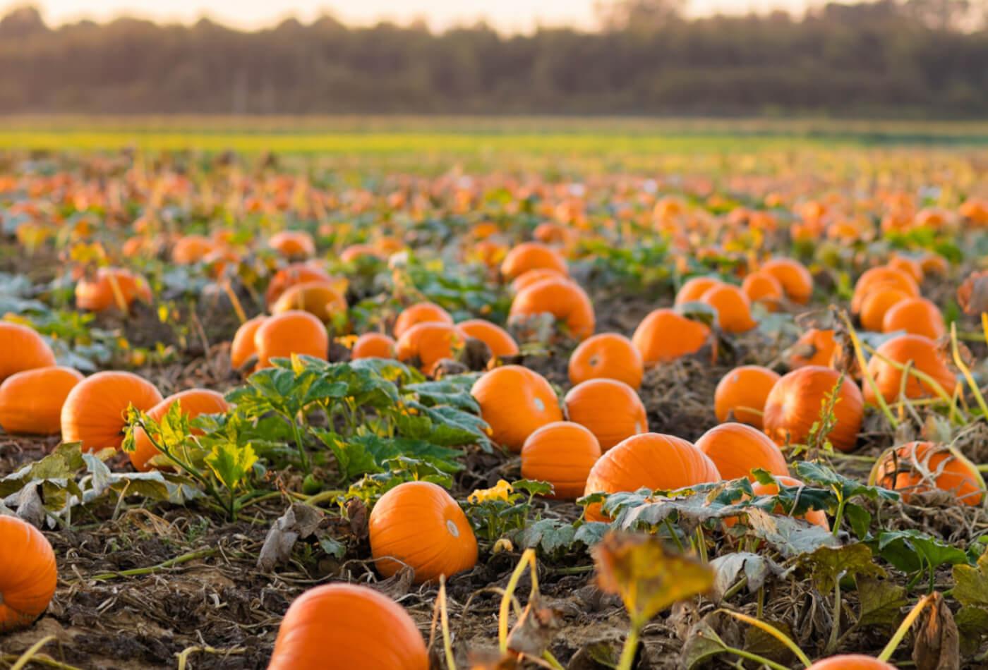 cornwall pumpkin patch