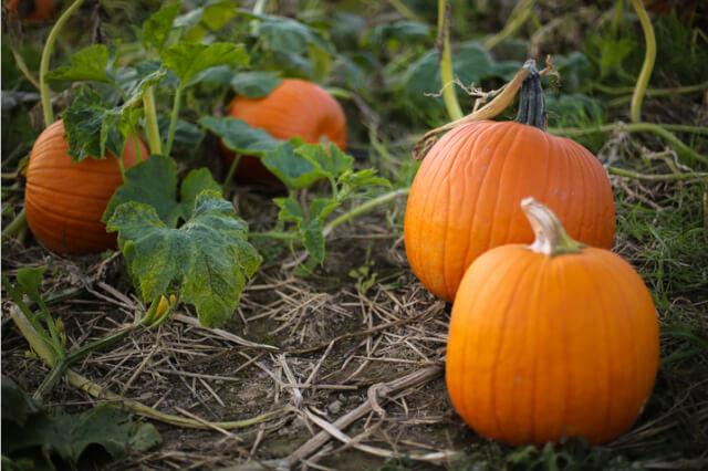 large ripe pumpkin