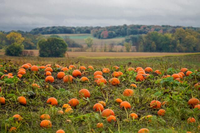 pumpkin patch cornwall